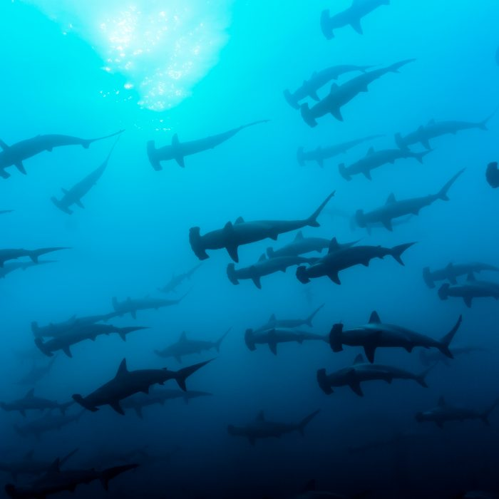 Shark Diving in the Galapagos